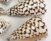 "Seashells - 1 Large Conus Shell (Marble Cone Shell) - 3""-3.5"""
