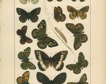 Antique Butterfly Print, Mountain Ringlet, Speckled Wood, Pl 11, 1895, Lepidoptera, Natural History, Kirby, Kappel, Deuchert, Slocombe