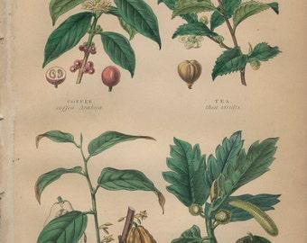 Coffee, Tea, Chocolate, Bread Fruit, Antique Botanical Engraving 17: Food Plants, Hand Colored, Kitchen Print Decor