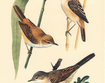 Reed-warbler, Sedge-warbler, Whitethroat, Vintage Bird Print Tunnicliffe 22, 1947, Frameable Art, Country Cottage Decor, Library Decor