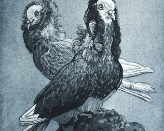 Capuchines - etching of my fancy pigeons