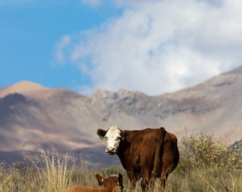 Mama Cow & Her Calf in the Rocky Mountains of Colorado (color photograph, various sizes)