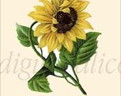 Antique BOTANICAL FLORAL Print Download - SUNFLOWER Flower -Instant Digital Download Printable, Digital Image,Print, cards, Sunflowers