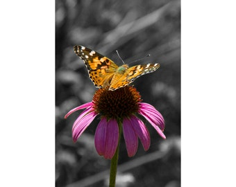 Echinacea Cone Flower with a Nymphalidae Butterfly No.0368 An Insect Nature Photograph