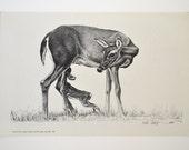 Art Print Sketch Deer by Bob Dale 1972 Vintage Art
