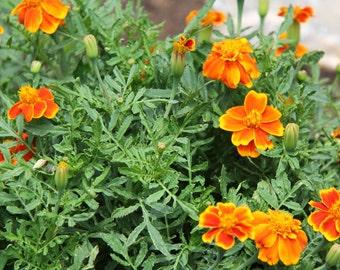 French Marigold//Red Marietta//Tagetes patula