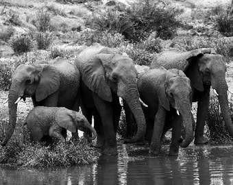 Black and White Elephant Print - Wildlife Photography - South Africa Elephant Family Photo - Watering Hole - Animal Lover Gift - 5x7 8x12