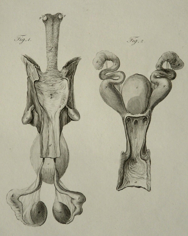 Platypus Penis 66