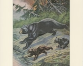 "Matted Vintage Black Bear Print C. 1950 Sports Afield Magazine 11x14"" Vintage Decor"