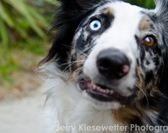 Australian Shepherd Dog Photograph, Pet Portrait, Cute Animal Portrait, Dog Lover Home and Home and Wall Decor