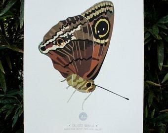 Calisto Nubila Butterfly Art Print Illustration