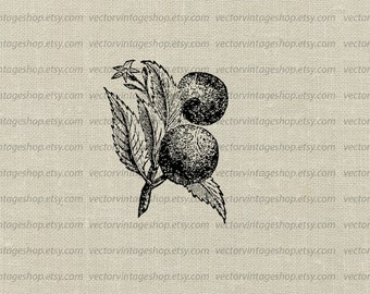 Lime Plant Citrus Clipart Vector Instant Download, Fruit Graphic Botanical Art, Vintage Victorian Nature Illustration jpg png eps WEB1755BB