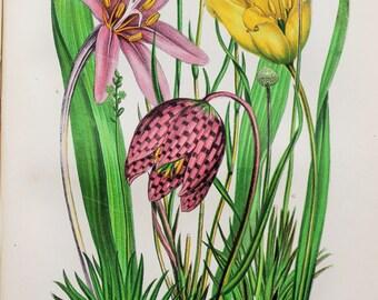 Anne Pratt Antique Botanical Print - Tulip, Frittilary, Saffron, Asphodel (228)