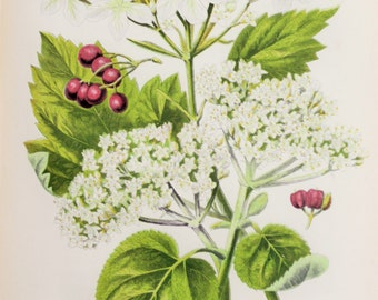 Anne Pratt Antique Botanical  Print - Guelder Rose Flowers and Berries