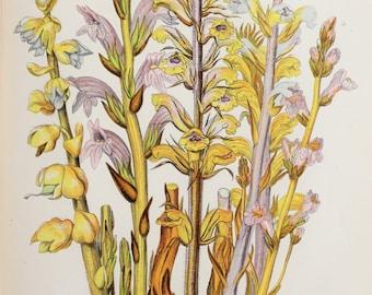 Anne Pratt Antique Botanical  Print - Broom Rape, Greater Toothwort (149)