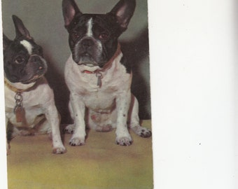 Old Alfred Mainzer Delightful Boston Terriers Waiting To Greet You