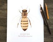 Honey Bee print, bee print, bee wall art