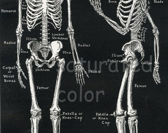 Human Skeleton Anatomy Vintage 1940s High Res DIGITAL IMAGE Diagram Bones Bony Scaffolding of Man's Body