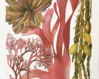 Vintage Botanical Print Antique BRITISH SEAWEED 187, plant print botanical print, bookplate art print, sea plants plant wall print wall art