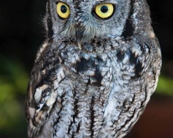 Screech Owl. Western Screech Owl. Small Owls. Birds of Prey. Raptors. Owls. Wildlife Images. Liz and Rich Photography.
