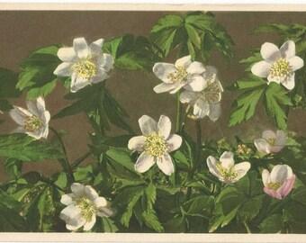 Wood Anemone by Thor E. Gyger, Adelboden, Switzerland - Unused Vintage Botanical Postcard, ca. 1940  #1153