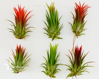 """Tillandsia Air Plants """" Ionantha Fuego L """" by Joinflwer Joinfolia"""
