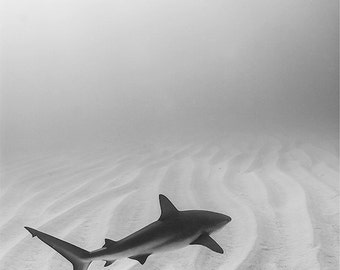Caribbean Reef Shark Fine Art Underwater Photograph Print