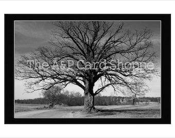 Item #37 // Bur Oak Tree in McBaine Missouri