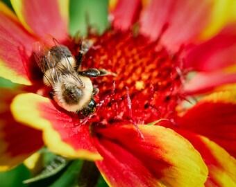 Organic Blanketflower, Gaillardia Seeds