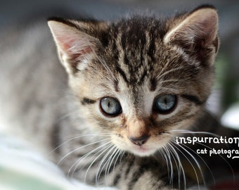 Little Tiger - Kitten Photo Print - 8x10 Photograph - 5x7 Photograph - Tabby Kitten Photo - Cat Photography - Animal Photography