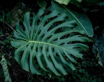 """Costa Rica Fine Art Photography, Monteverde Forrest, Green Leaf, """"Variation"""""""