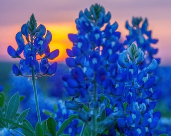 Texas Wildflower Photography - Blue Bonnets at Sunset