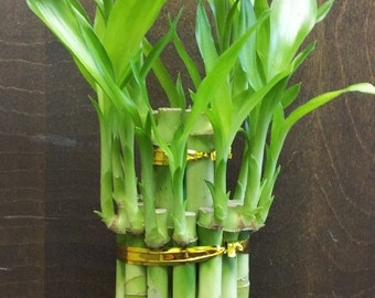 """2 Tier Lucky Bamboo - 6"""" & 4"""" Lucky Bamboos in 2 Tiers - Feng Shui  (FREE SHIPPING)"""