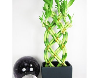Live 8 Braided Style Lucky Bamboo Plant Arrangement with Dark Blue Vase  (FREE SHIPPING)