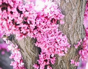 Redbud - Flower photography - Flowering Tree Print - Cercis canadensis - Pink Flowers. - Wall Art