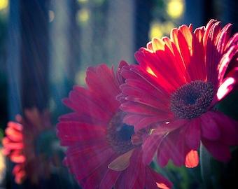 Pink Daisies Digital Photo Download