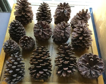 Qty of 14 Large Pine Cones