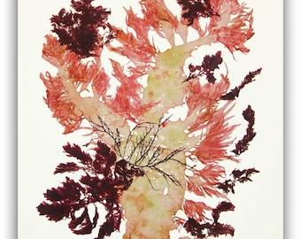 Seaweed art,Pressed seaweeds, natural sea weed collage, Alganet seaweed pressing, coastal living, beach cottage decor, victorian algae art