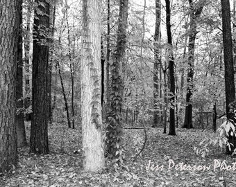 Aspen Tree Forest Photography- Chattahoochee GA Autumn Black and White Decor Rustic Fall photo Nature Landscape Print 5x7/matted/ 8x12/ 8x10