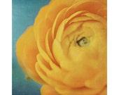 Flower Photography, Still Life, Yellow Ranunculus, Floral, Nature Photo, Rich Tones, Dreamy, Elegant Home Decor, Teal, Blue, Home Decor