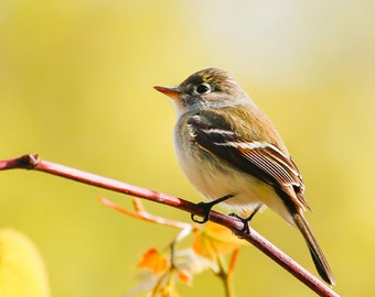 Bird Photo - Nature Photography - Least Flycatcher - Bird Photography Wall Art - Sunny Yellow