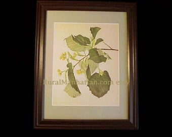 60s Botanical Plate Silver Lime Tilia Tomentosa Print Plate Leaves Seedpods Frame Flowers Yellow Green Glass Branch Single Mat Tree