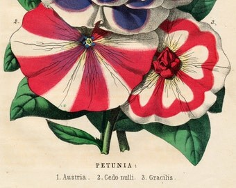 1863 Rare Vintage Botanical Print of Petunias - German - Handcolored