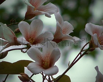 Floral Note Card-Flowers-All Occasion Card-Tung Oil Blossom-Nature Photograph- Flower Photograph-
