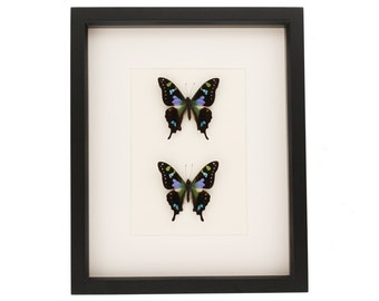 Graphium weiskei double mount display framed butterflies