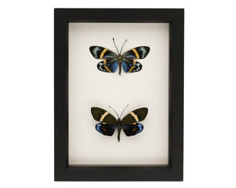 Framed Moth Collection Eterusia replete Natural History