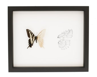 Real Butterfly Skeleton Pale Swallowtail Insect Taxidermy Display