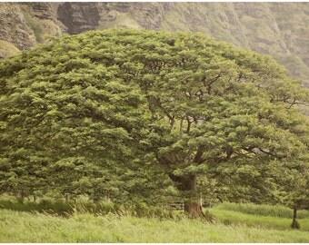 Hawaiian Fine Art Canvas wrap -Island Giant Tree -Landscape