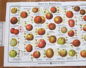 Original Graser's Antique German Botanical Lithograph Prof. Dr. Raschkes Apple Varieties, Apple chart