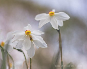 White Narcissus, 8x10 Print, Flower Photography, Nature Photography, Floral Print, Spring, Long Island Art, Wildflower Print, Narcissus